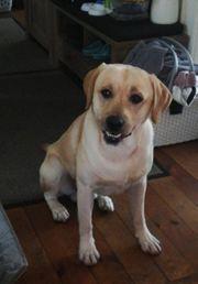 Deckrüde Reinrassiger blonder Labrador