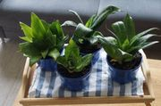 Zimmerpflanzen Jungpflanzen Bogenhanf und Grünlilie