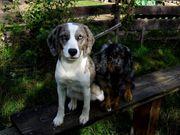 Beagle Aussiedoodle Hündin bald 2