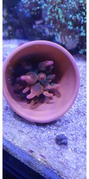 Entacmaea Quadricolor Sunbrust