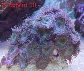 Bild 4 - Meerwasser Aquarium Korallen - Thiersheim