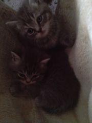 Reine BKH Kitten