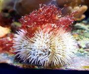 Meerwasser Seeigel weiß