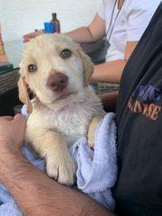 Labrador Welpe beige