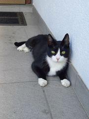 Katze junger Kater in Fußach