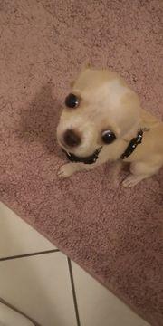 Chihuahua welpe White