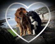 Wurfankündigung Australian Shepherd Welpen Mitte