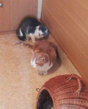 Zwei Wohnungs - Katzen - männlich u