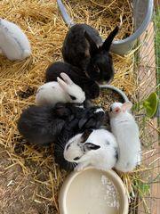 Zwergkaninchen Farbenzwerg Kaninchen Hasen