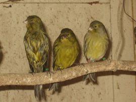 Vögel - Kanarienvögel Kanarien Vögel schwarz gelb
