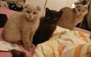 Scottish Fold Straight Kitten