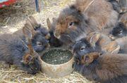 Kaninchen Bartkaninchen Zwergkaninchen