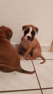 Boxer Bulldoggen Welpen in liebevolle