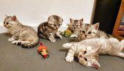 BKH Mix Kitten Abgabe ab