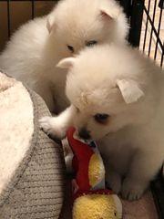 6 Pomeranian Welpen