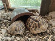 Aufnahme Griechische Land Schildkröten THB