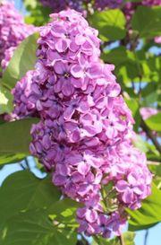 Biete Flieder Hell-Violett Blumen Pflanzen