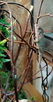 Hübsches Zwergchamäleon-Männchen von 04 2030