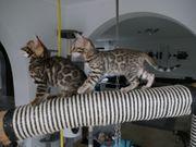 Reinrassiege Bengal Kitten 1 Junge
