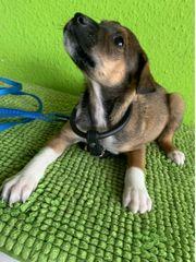 Sheltie-Beagle Mix Welpen abzugeben