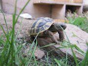 Griechische Landschildkröten THB Nachzuchten von
