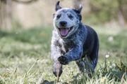 Texas Heeler Cattle Dog - Shepard