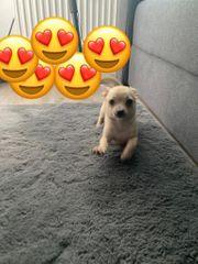Hund abzugeben Chihuahua