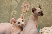 Canadische Sphynx Kitten Blue Point