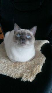 Deckkater Kater zum decken Katzen