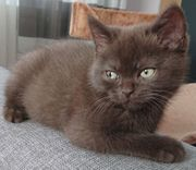 British Shorthair BKH Chocolate Kater