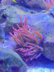 Kupferanemone tricolor
