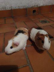 Zwei Merschweinschen abzugeben dringend