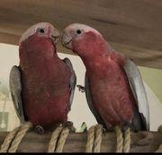 Rosa Vogel - Kakadu - Rosakakadu vermisst