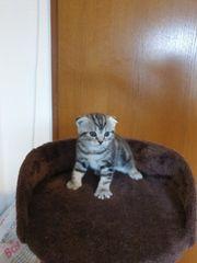 Mädchen Scottish fold Tabby Kitten