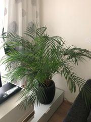 Schöne Zimmerpflanze mit Topf
