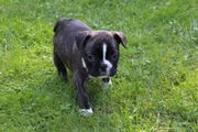 Französische Bulldoge Welpen