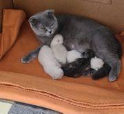 weiße grauer Kitten