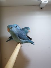Blaugenick Sperlingspapageien