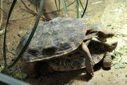 Spaltenschildkröte malacochersus tornieri Tausche 1