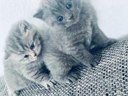 Schottisch Fold Bebykatzen