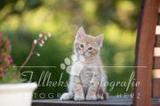 Maine coon Kitten Katzenbaby zu
