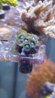 Krustenanemone Korallen Anemonen