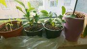 Ficus Benjamini Ableger zu Gunsten