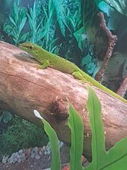 Madagaskar Taggecko Männchen