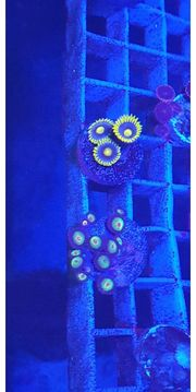 meerwasser korallen zoa Ableger