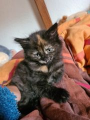 BKH BLH Kitten noch 1