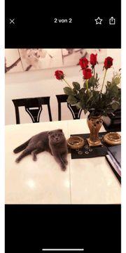 Scottish Fold Kitten schlappohr kurzohr
