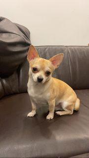 Chihuahua 1 Jahr sucht liebevolles