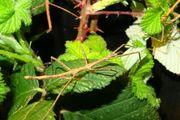 Indische Stabschrecken Carausius morosus