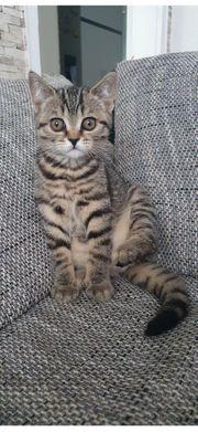 Bkh Kitten dürfen sofort ausziehen
